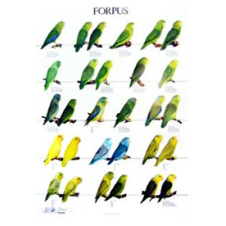 太平洋鹦鹉海报forpus bird poster1