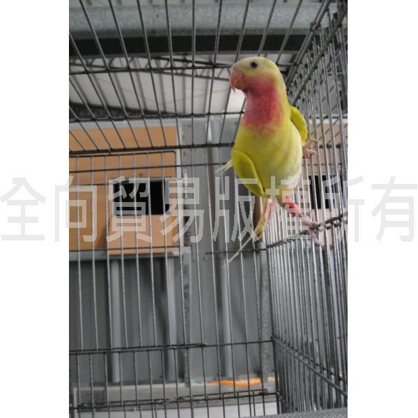 黄公主_鹦鹉_照片欣赏_omni parrot birds pets 全向